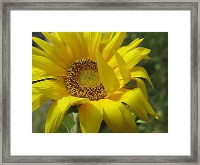 Windblown Sunflower One Framed Print