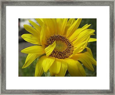Windblown Sunflower Three Framed Print
