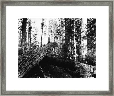 Windfall For Loggers 1908 Framed Print
