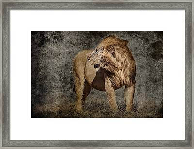 Windswept Lion Framed Print by Mike Gaudaur