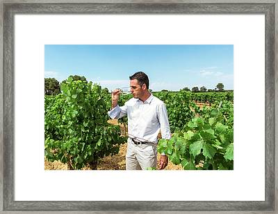 Wine Expert In A Vineyard Framed Print by Philippe Psaila