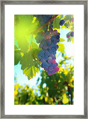 Wine Grapes  Framed Print by Jeff Swan