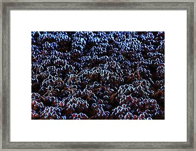 Wine Grapes Framed Print by Mauro Fermariello