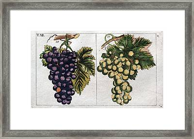 Wine Grapes, Vine, Agriculture, Fruit, Food And Drink Framed Print by English School