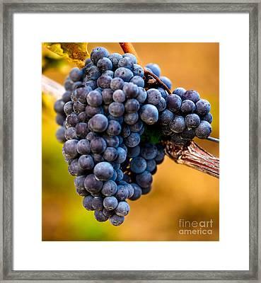 Wine Harvest Merlot Grapes Framed Print by Iris Richardson