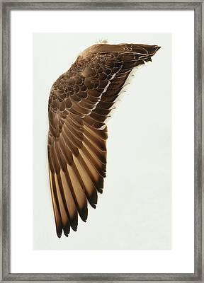Wing From Unidentified Waterfowl Framed Print by Dorling Kindersley/uig