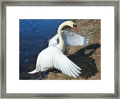 Wings Of A Swan Framed Print