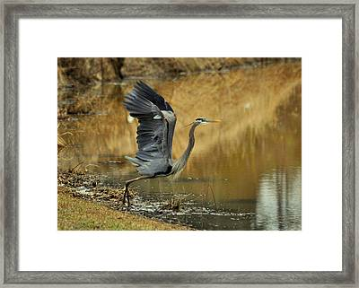 Wings Up Heron - 0993c1963f Framed Print by Paul Lyndon Phillips