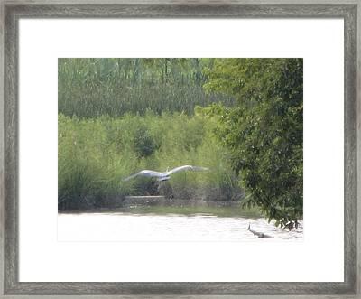 Wings Wide Open Great Blue Heron Mighty Sight Framed Print by Debbie Nester