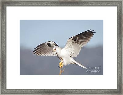 Wingspan Framed Print by Alice Cahill