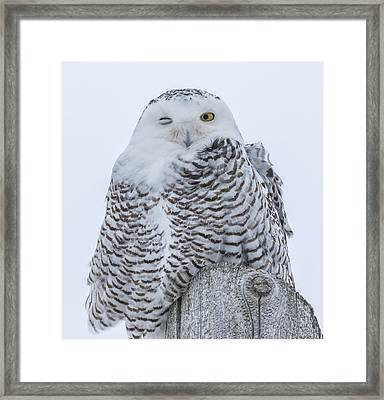 Winking Snowy Owl Framed Print by Thomas Young