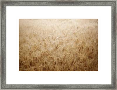 Winsome Wheat Framed Print