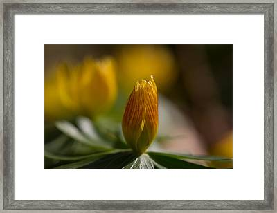 Winter Aconite Framed Print by Andreas Levi