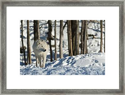 Framed Print featuring the photograph Winter Arctic Wolf by Wolves Only