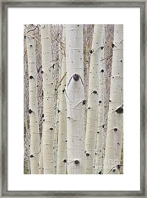 Winter Aspen Tree Forest Portrait Framed Print
