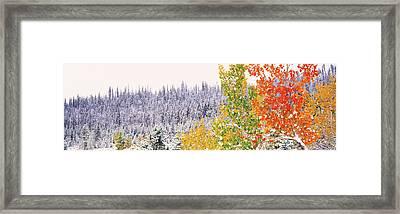 Winter, Aspens, Usa Framed Print