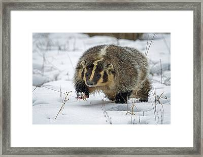 Framed Print featuring the photograph Winter Badger by Jack Bell