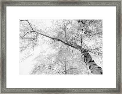Winter Birch - Bw Framed Print by Hannes Cmarits