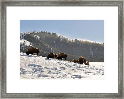 Winter Bison Herd In Yellowstone Framed Print by Bruce Gourley