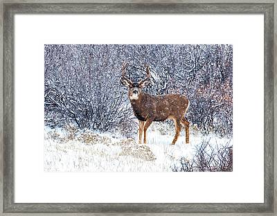 Winter Buck Framed Print by Darren  White