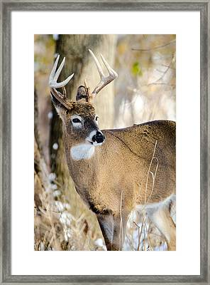 Winter Buck Framed Print