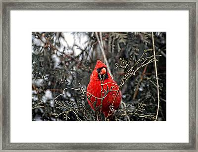 Winter Cardinal 03 Framed Print by Thomas Woolworth