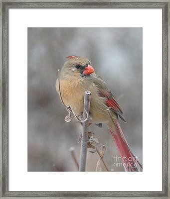 Winter Cardinal - Female Framed Print