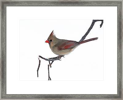 Winter Cardinal II Framed Print