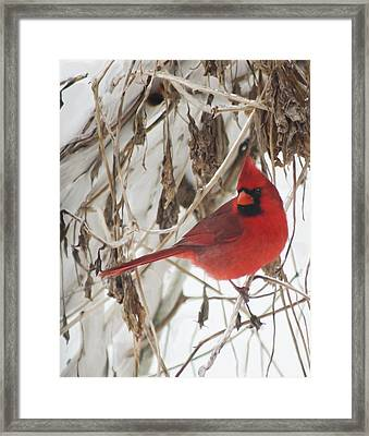 Winter Cardinal On Vines Original Framed Print