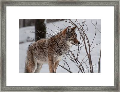 Winter Coyote Framed Print