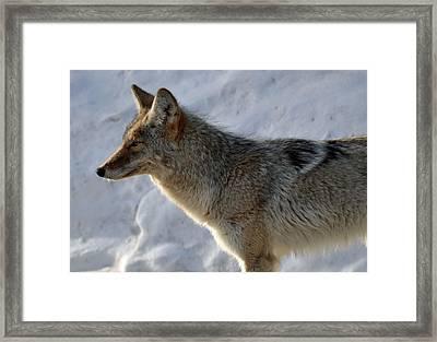 Winter Coyote In Yellowstone Framed Print by Bruce Gourley