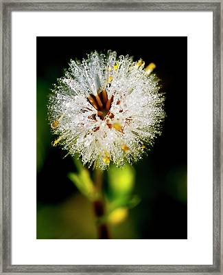 Framed Print featuring the photograph Winter Dandelion by Pedro Cardona