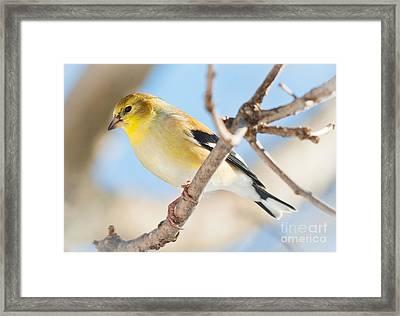Winter Finch Framed Print