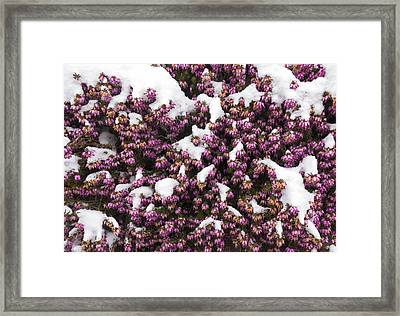 Winter Flowering Heather Erica Carnea In Spring Covered With Snow Framed Print by Matthias Hauser