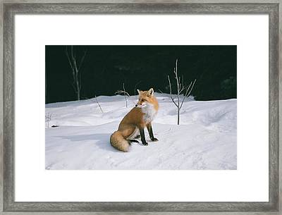 Framed Print featuring the photograph Winter Fox by David Porteus