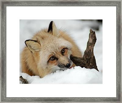 Winter Fox 2 Framed Print