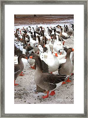 Winter Geese In Columbia Park Framed Print by Carol Groenen
