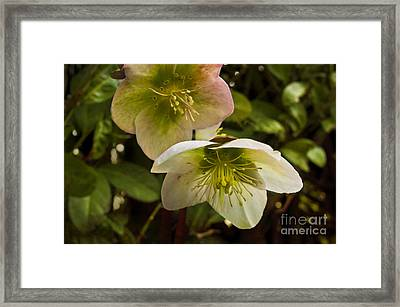 Winter Hellebore Framed Print by Maria Janicki