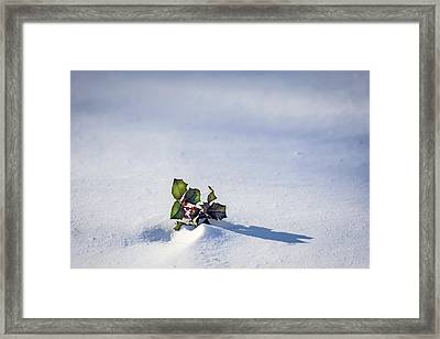 Winter Holly Framed Print