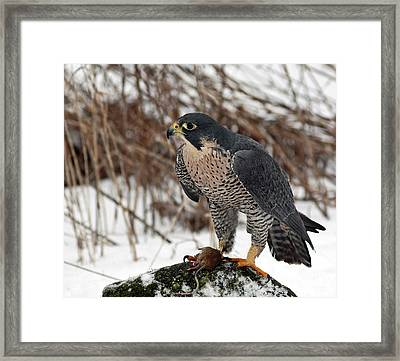 Winter Hunt Peregrine Falcon In The Snow Framed Print