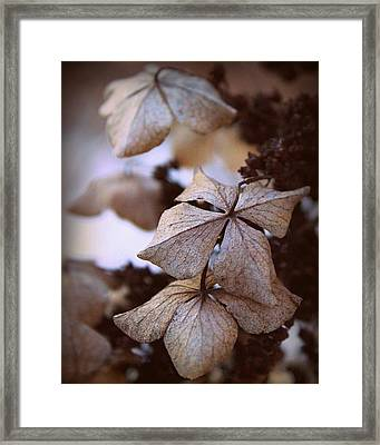 Winter Hydrangea Framed Print by Joseph Skompski