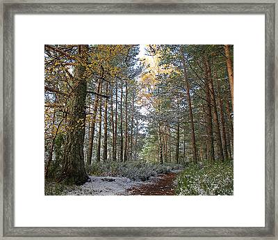 Winter In The Forest Near Aviemore Framed Print