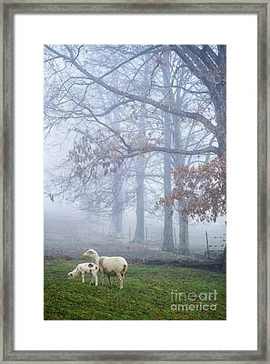 Winter Lambs And Ewe Foggy Day Framed Print by Thomas R Fletcher