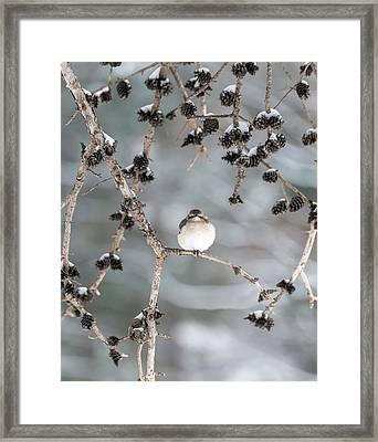 Winter Mockingbird Framed Print