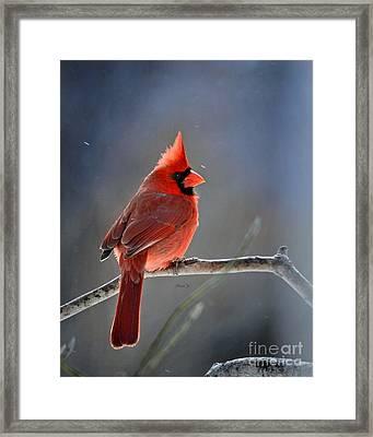 Winter Morning Cardinal Framed Print by Nava Thompson