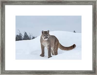 Winter Mountain Lion  Framed Print