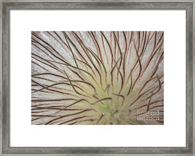 Winter Pasque Flower Framed Print