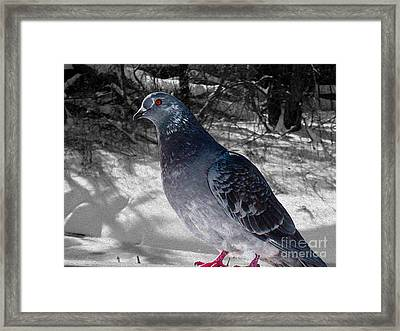 Framed Print featuring the photograph Winter Pigeon by Nina Silver