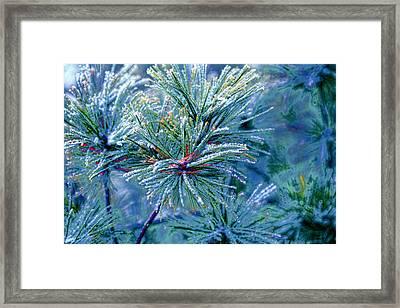 Winter Pine Framed Print by Bonnie Bruno