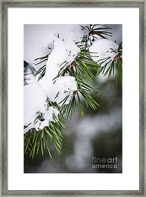 Winter Pine Branches Framed Print